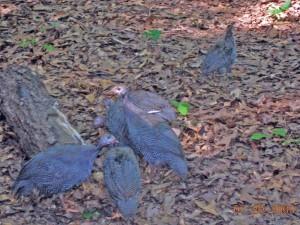 Guinea flock