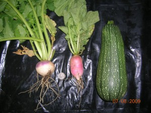 Turnip, radish, and summer squash harvest