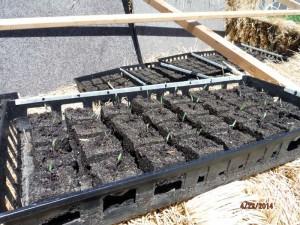 tomato soil block starts