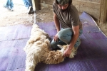Tony holding down an alpaca