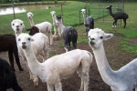 View the album Alpaca's d'Auxvasse Shearing Day