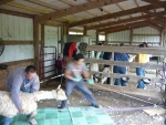 View the album Alpaca's d'Auxvasse Shearing Day