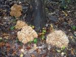 Hen of the woods (Maitake)